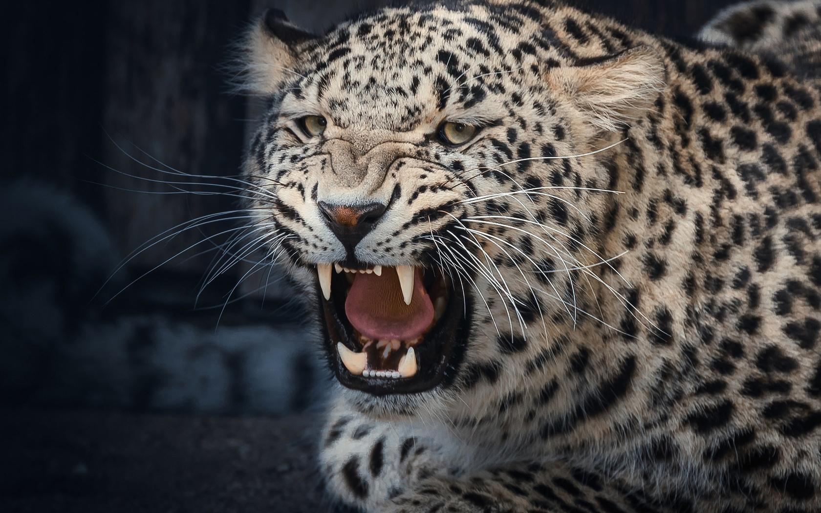 леопард, оскал, клыки