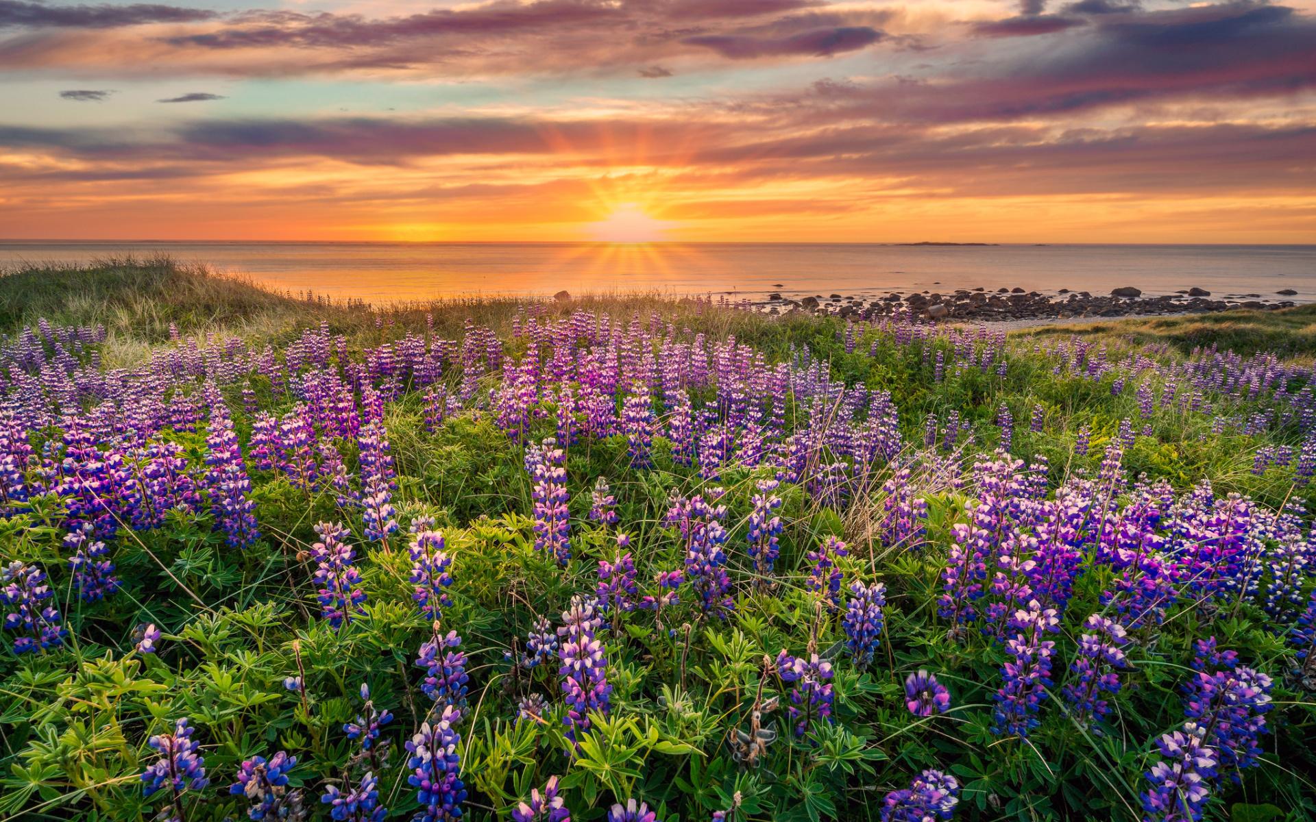 закат, вечер, луг, цветы, море