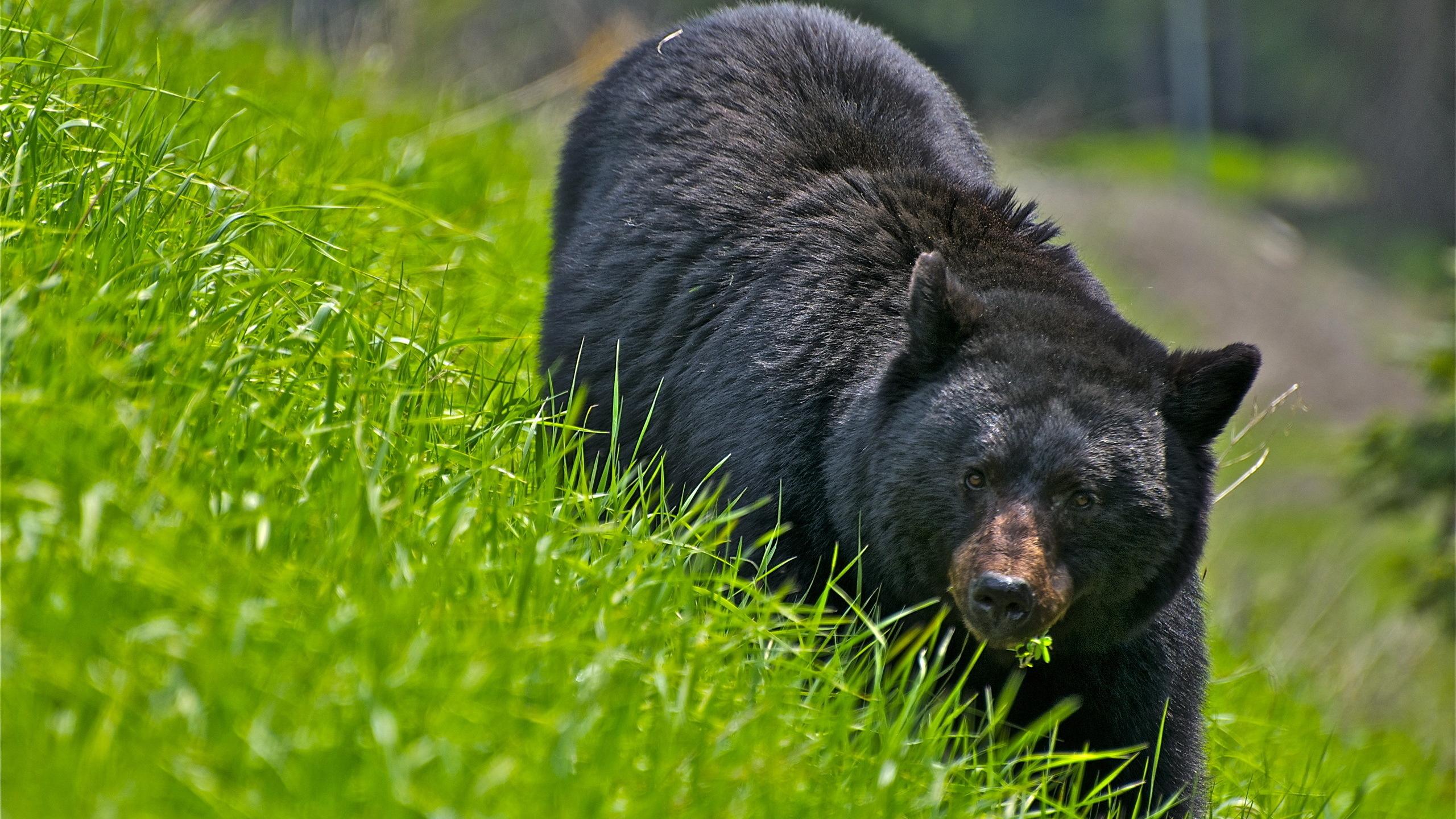 склон, трава, медведь