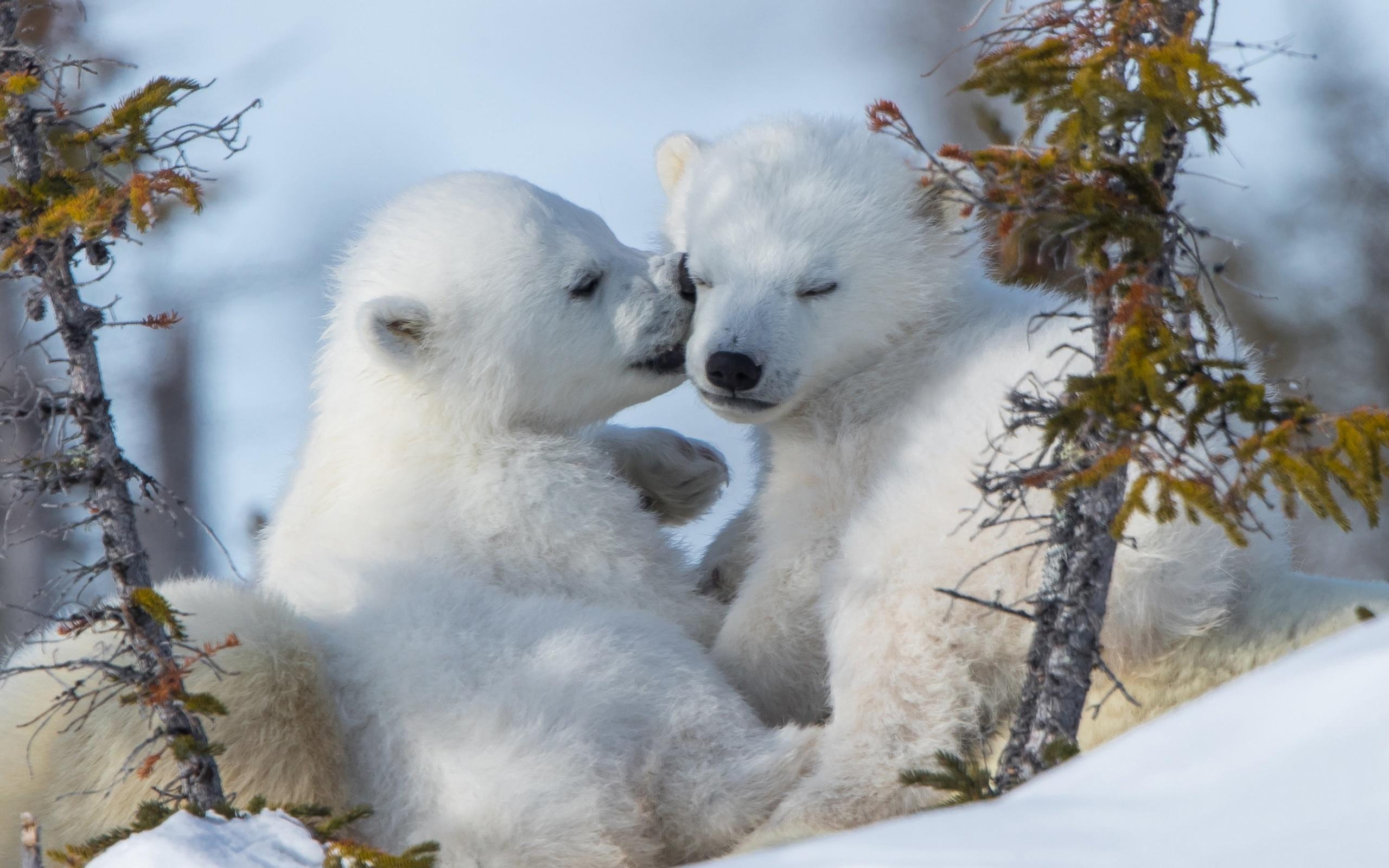 белые, медвежата, нежность