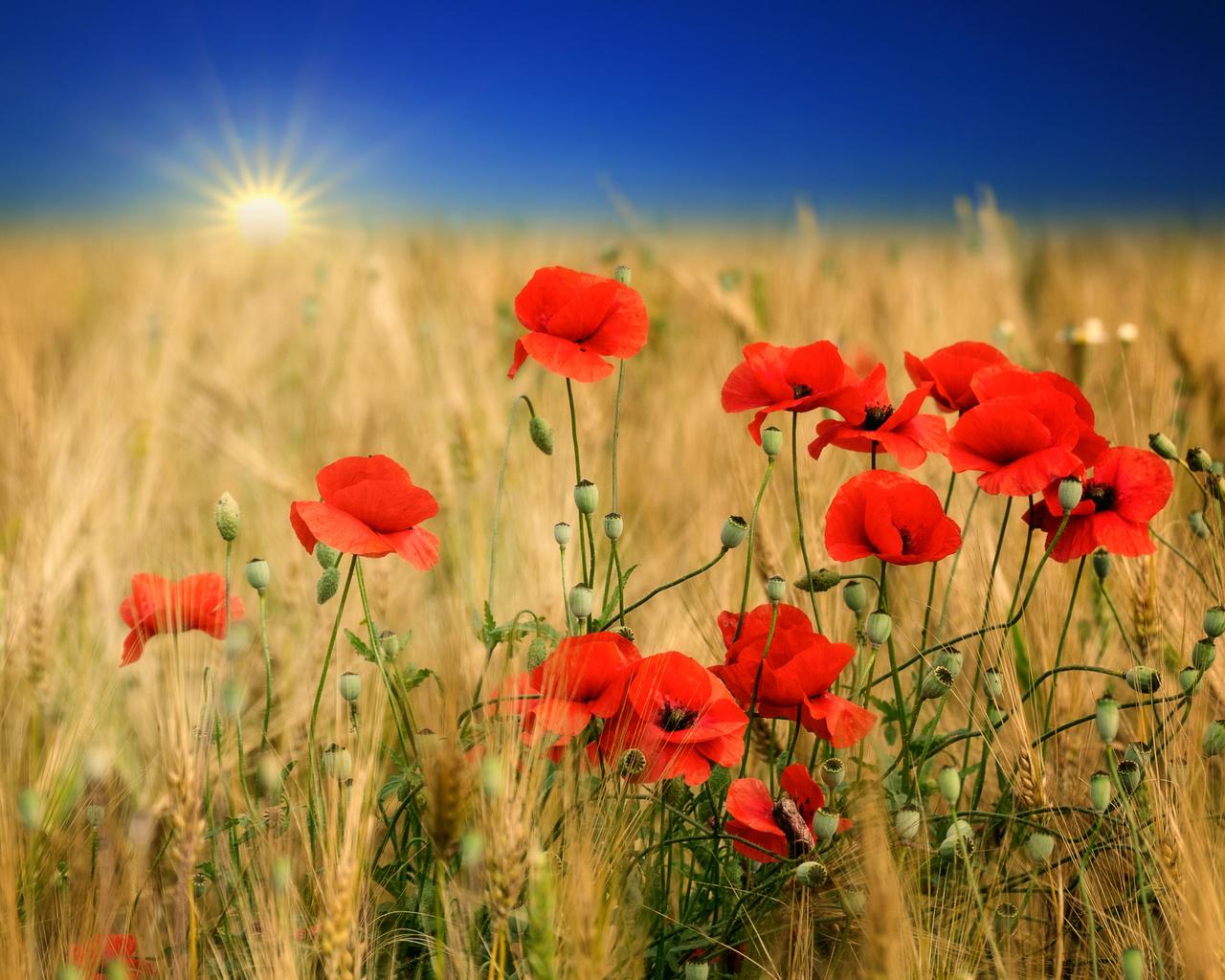 поле, колосья, маки, полевые, цветы