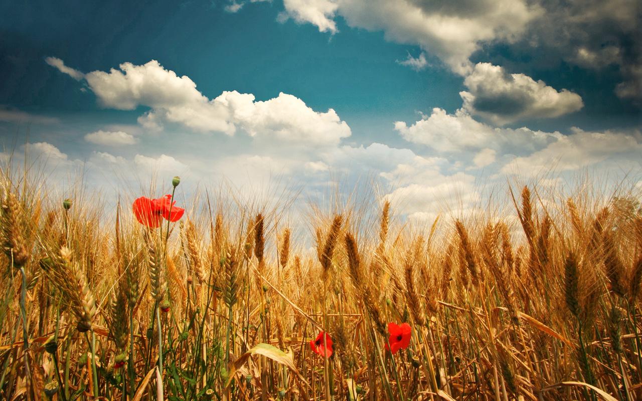 поле, колосья, маки, облака, пейзаж