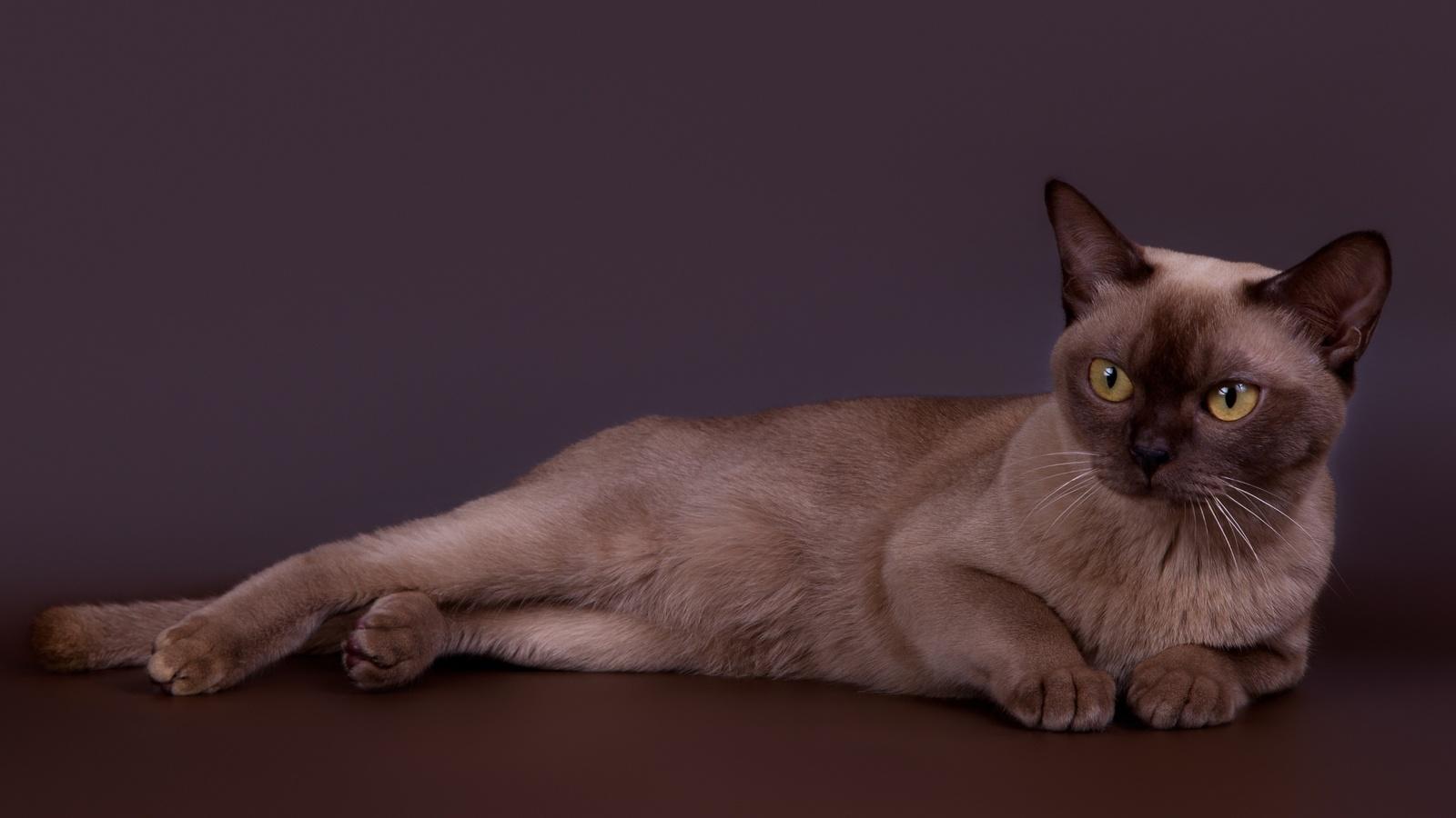 красивый, породистый, коричневый, кот, на, сером, фоне
