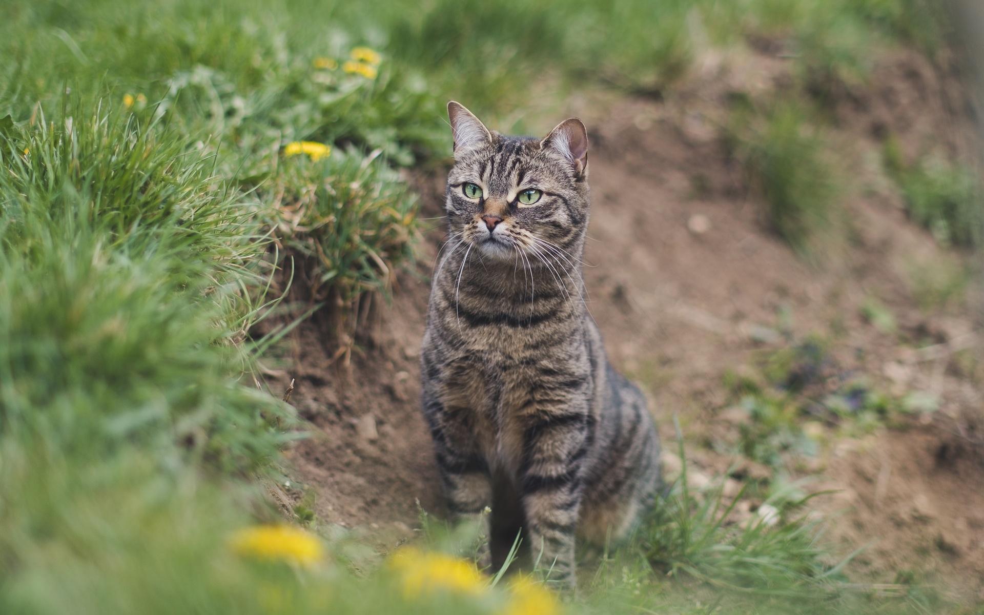 кошки, трава, взгляд, кошка,животное,домашний,питомец,растения,земля,на,природе,мордочка,полосатый,лапки,котик,смотрит,сидит