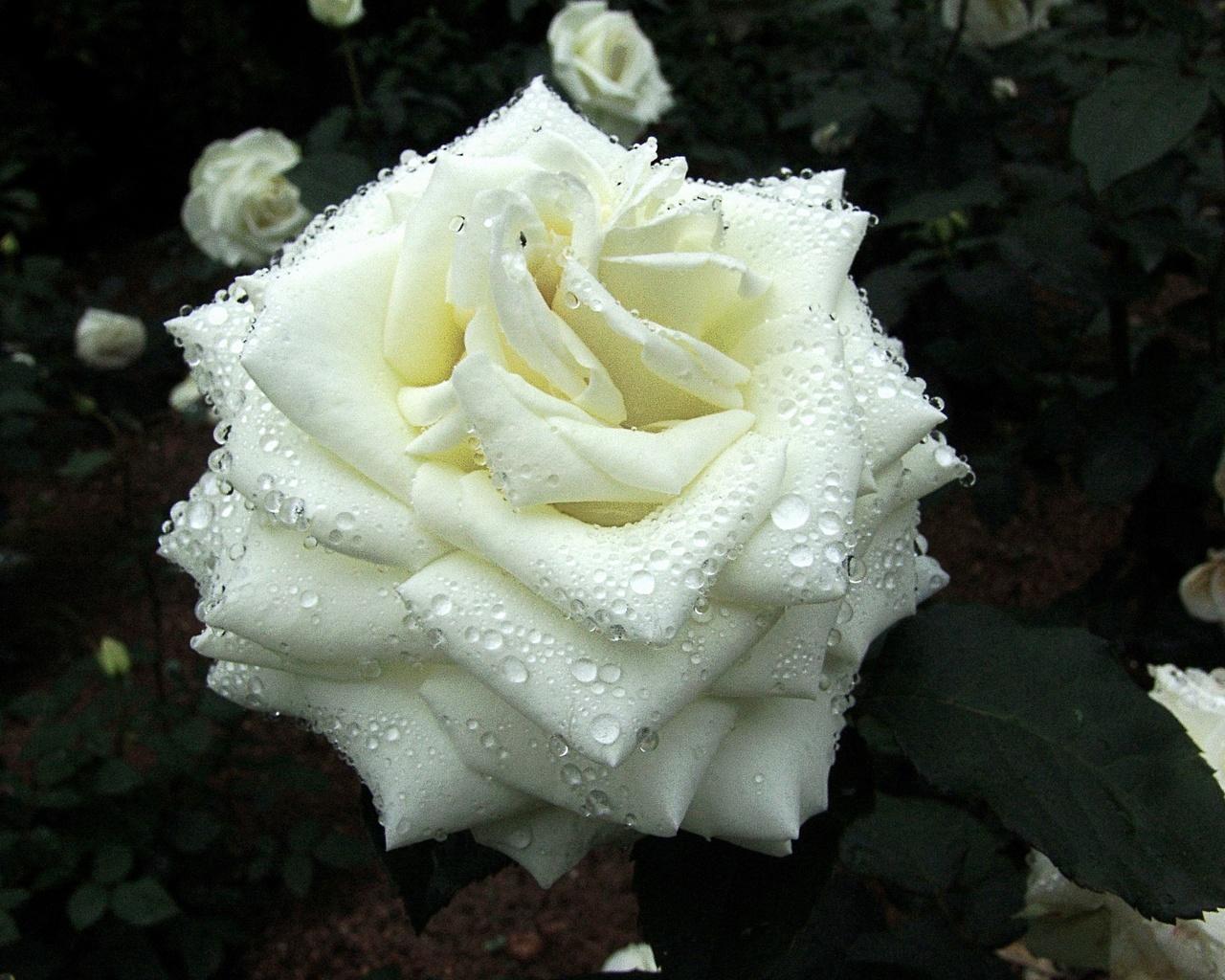 роза, белая, роса