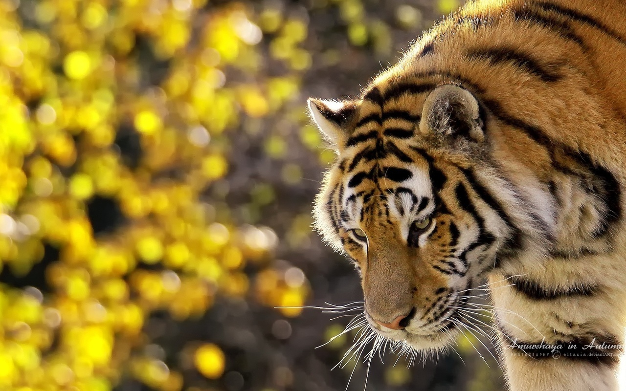 Скачать обои Тигр, полосатый, стоит, усы, смотрит, морда - картинка #16810 c разрешением 1920x1200