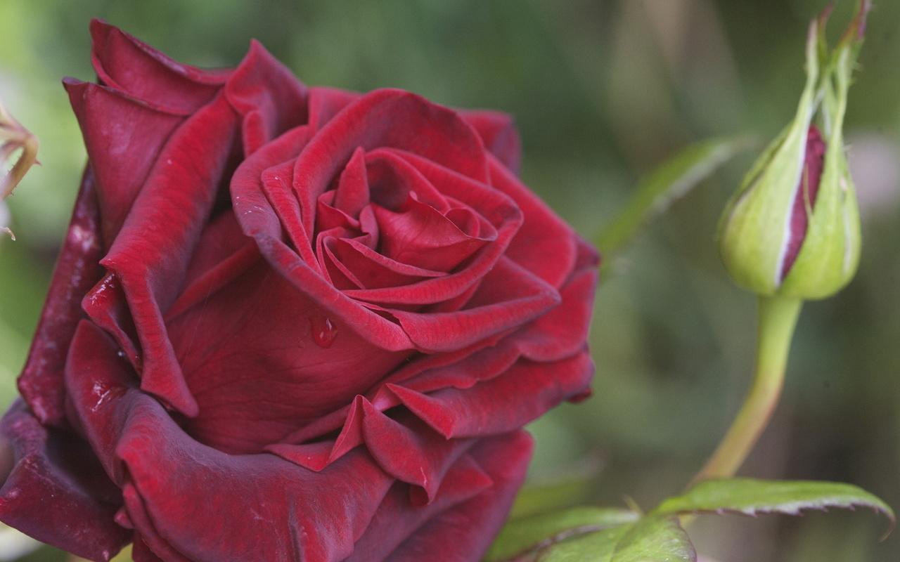 Скачать красная, роза, лепестки, капли, роса, бутон, макро, фото, обои, картинка #12338732 - a-matata.ru