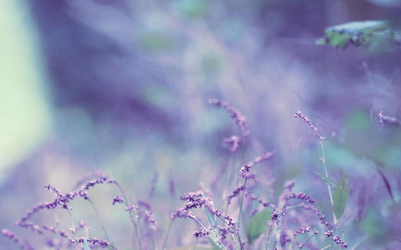 Картинки цветы лаванды 2