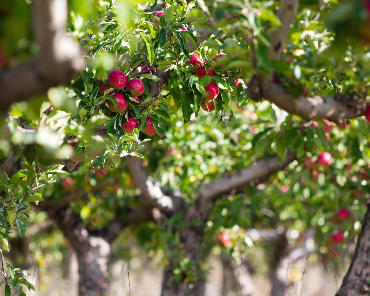 картинки яблоня на рабочий стол