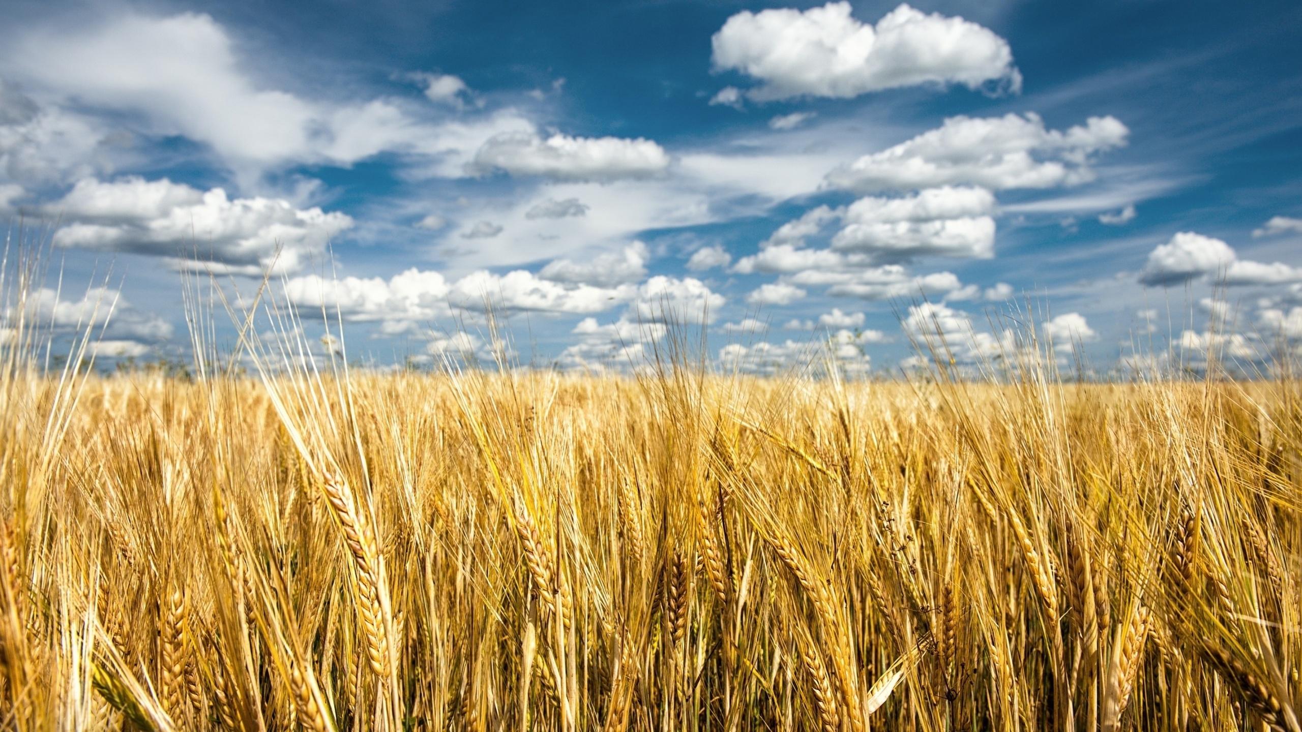 Пшеница обои рабочего стола 6