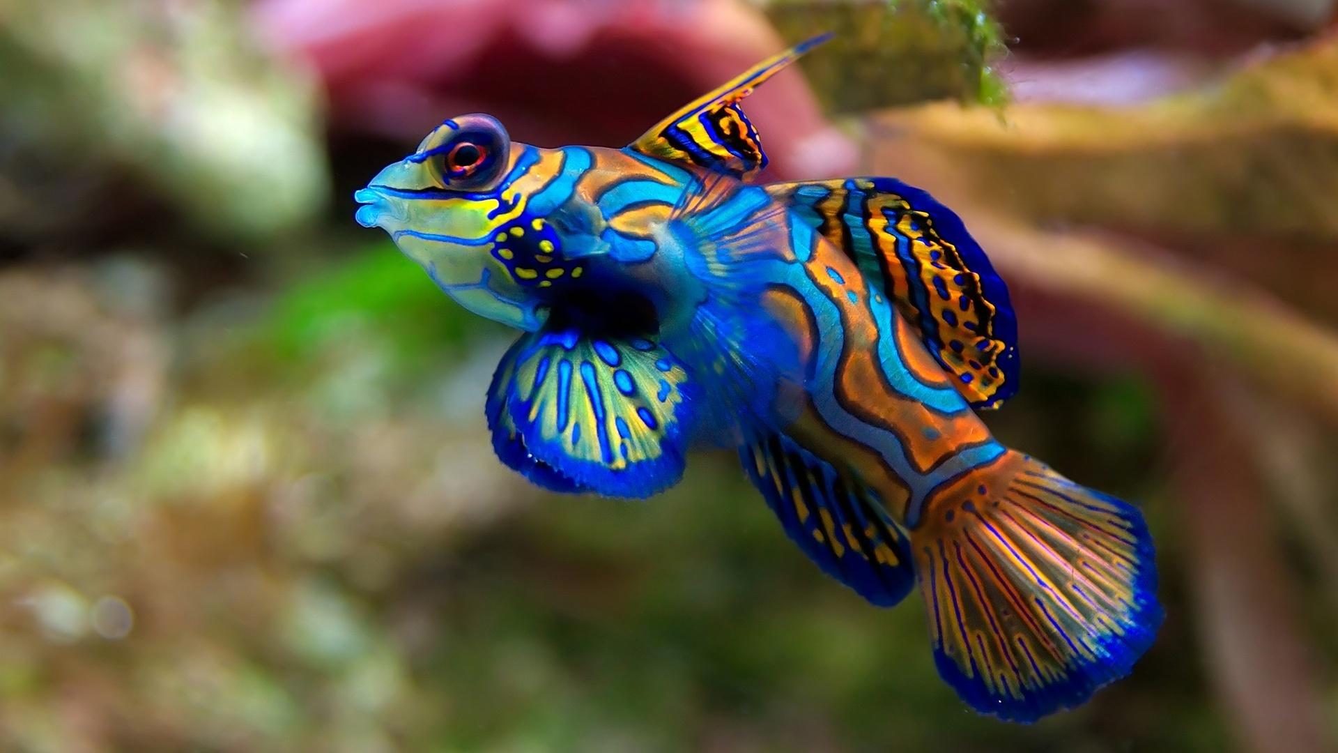 Обои аквариум рыбка синяя полоска на