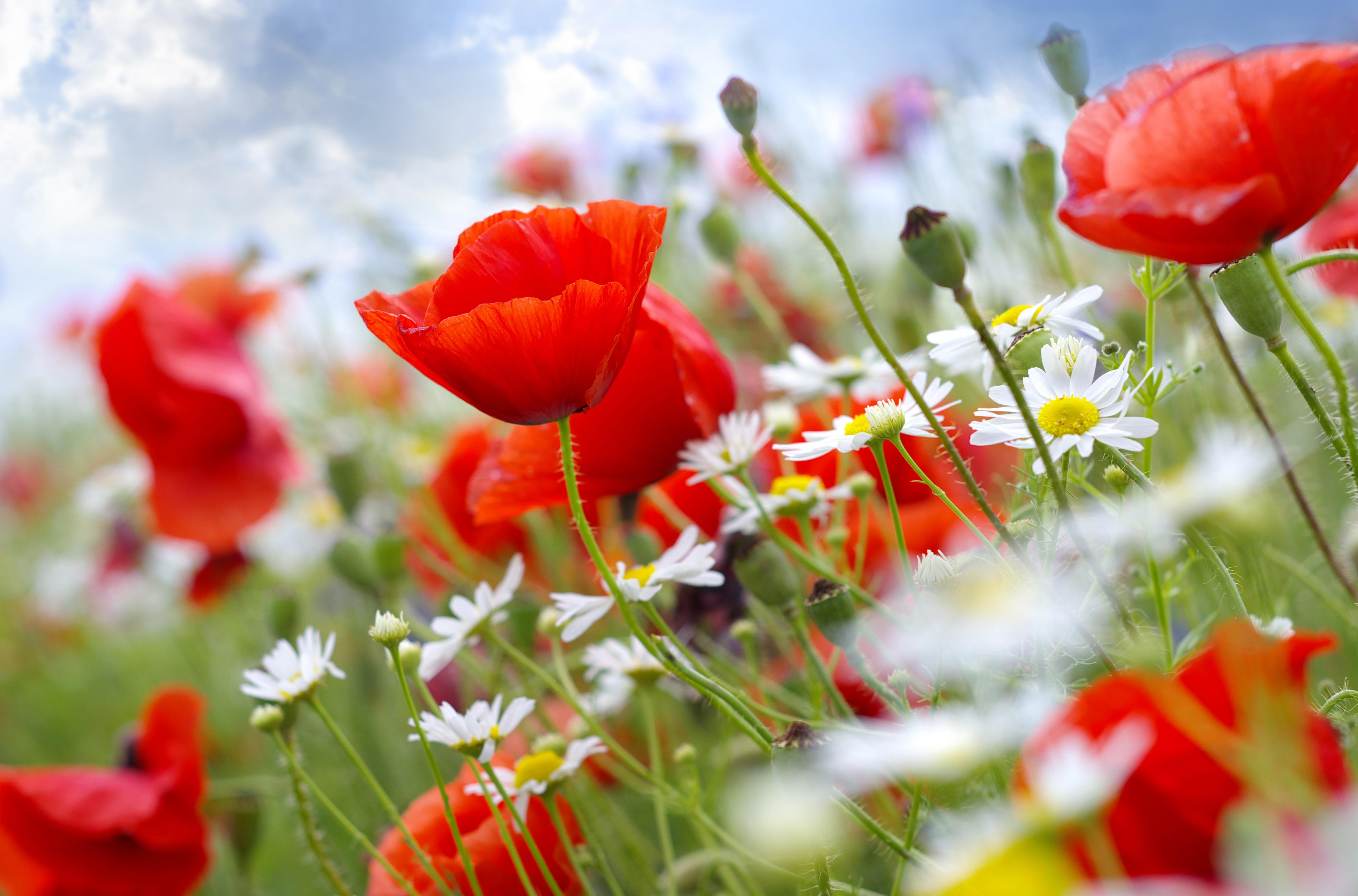 Обои ромашки маки цветы стебли небо