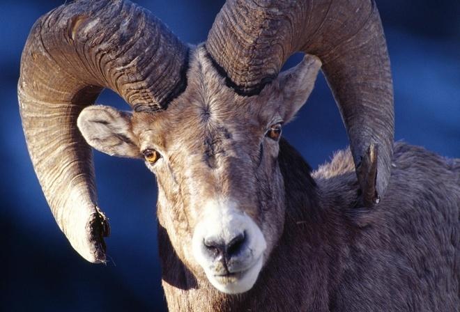 Как связать барана с рогами
