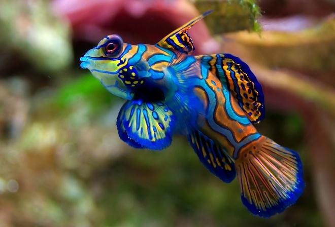 Аквариум 52 рыбка 32 синяя полоска