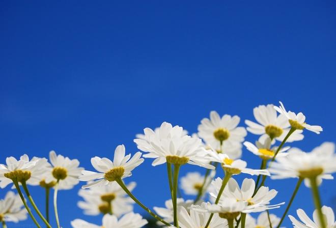 Небо цветы желтые белые ромашки