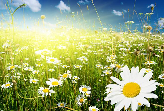 Обои поле цветы белые ромашки трава