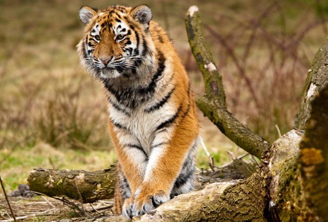 Шпалери тварини сибірські тигри дикі