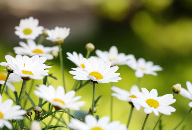 Бутоны цветы ромашки лепестки