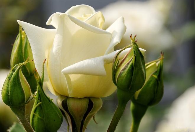 Обои роза бутоны лепестки белые