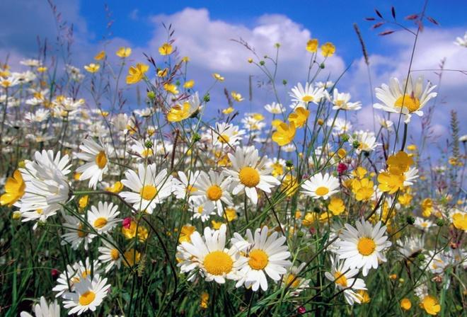 Обои полевые цветы ромашки облака