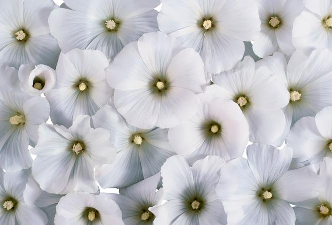 Обои лаватера цветы фон белые цветы
