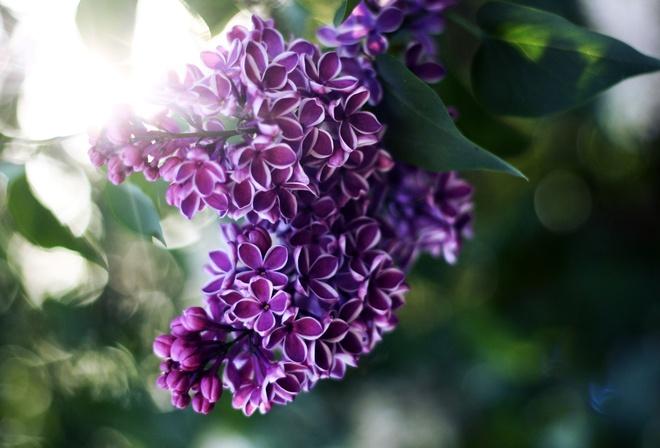 сирень, свет, лучи, Цветы, размытость, листья