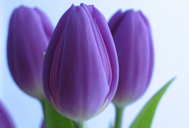 Фиолетовые цветы тюльпаны