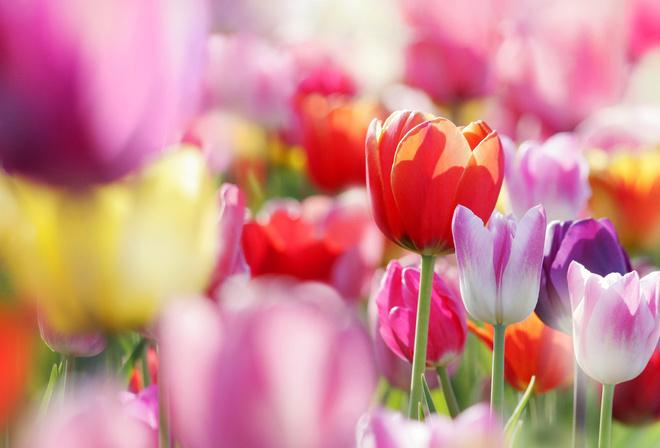 Цветы тюльпаны бутоны весна