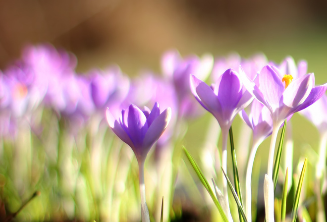 первоцвет, весна, Крокусы, боке