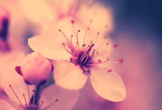 Категория.  Ручное изменение размера. вишня. весна. макро. цветок. сакура. цветение.