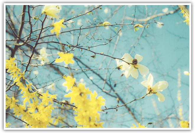 Цветы магнолия рамка желтый цвет