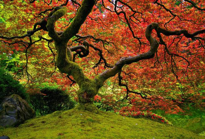 Сад природа клён на рабочий стол