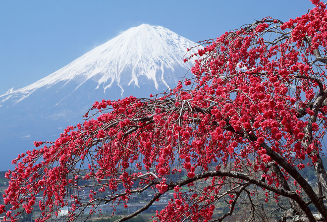 Картинки сакуры в природе