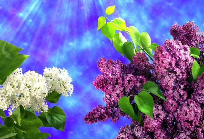 Сирень фотошоп весна голубой фон