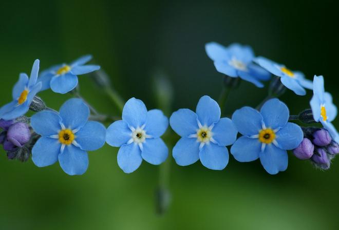 Теги незабудки цветы 2761 голубые 56