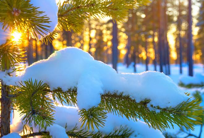 Картинки сосны зима солнце