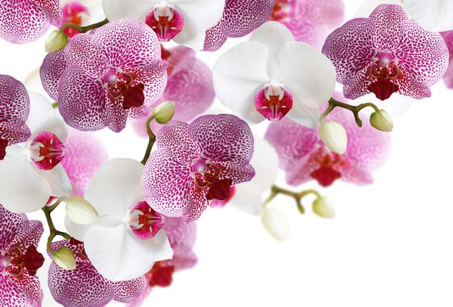 Виды орхидей. Классификация групп орхидных - Комнатные 6