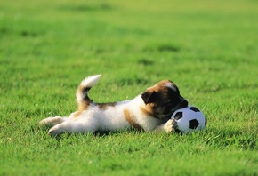 HD wallpaper wallpapers puppy, a lawn, a ball, playing, grass, dog, Pets, photo