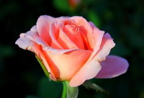 роза, нежная, розовая, цветок
