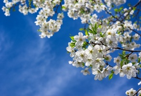�����, ������, �����, �������, �����, �����, ������, ����, spring, tree, branches, nature, flowers, cherries, leaves, sky