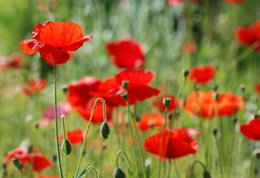 Маки, цветы, поле, красота