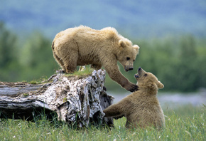 bear, cubs, wild, grass