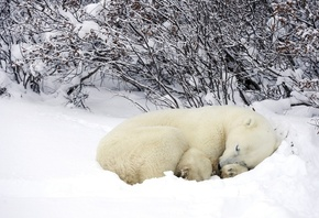 bear, polar, cub, dream, snow, wild