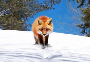 fox, red, snow, winter