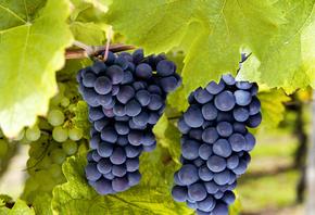 виноград, осень, молдова