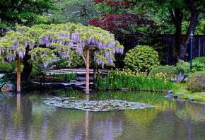 Сиэтл, США, сад, парк, пруд, глициния, растения, деревья, кусты, природа