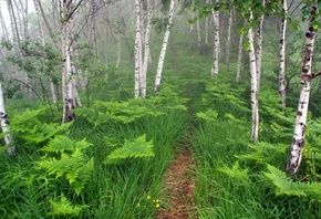 природа, березы, туман, тропа