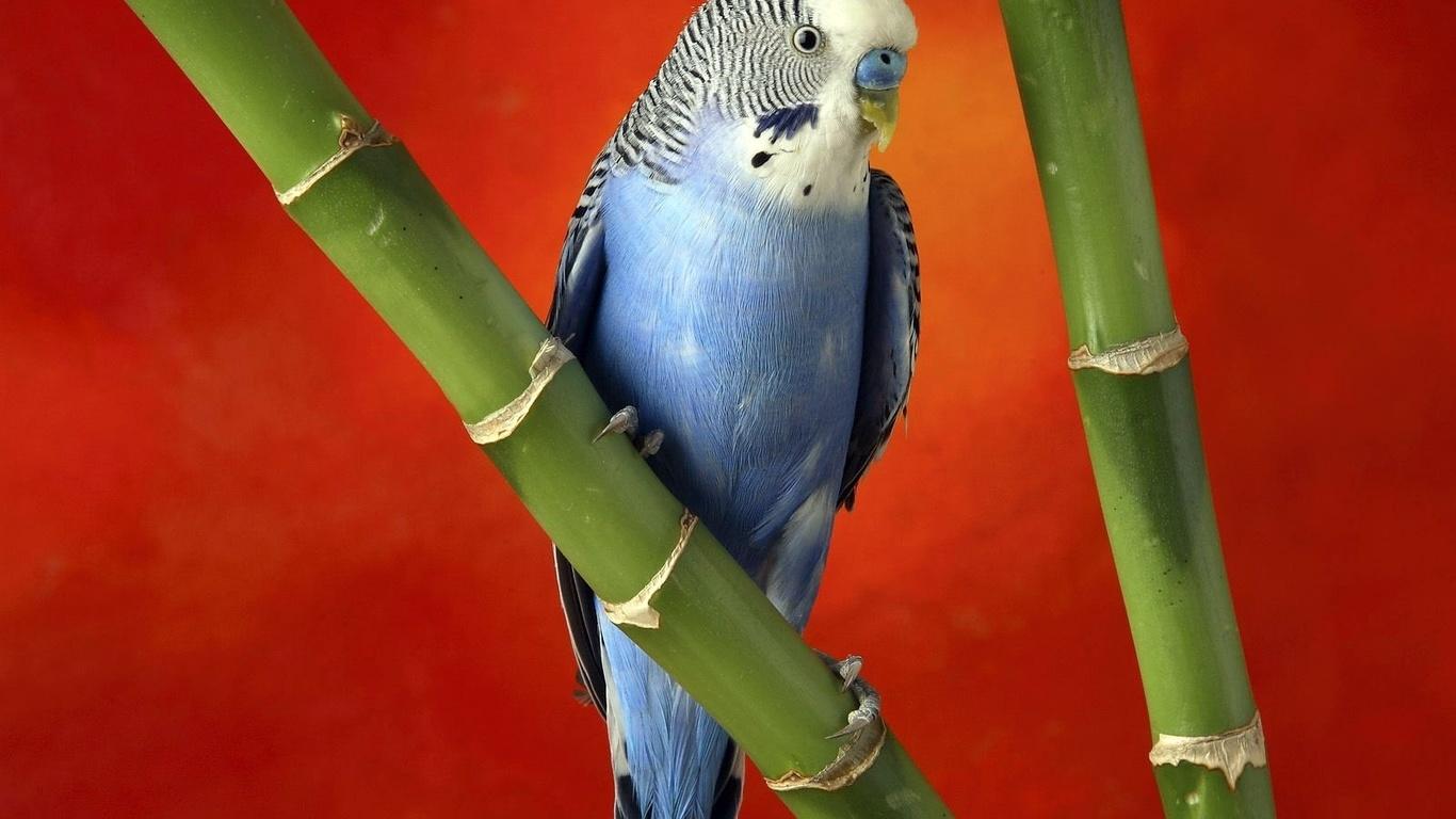 Hd шпалери червоний фон, папуги, бамбук