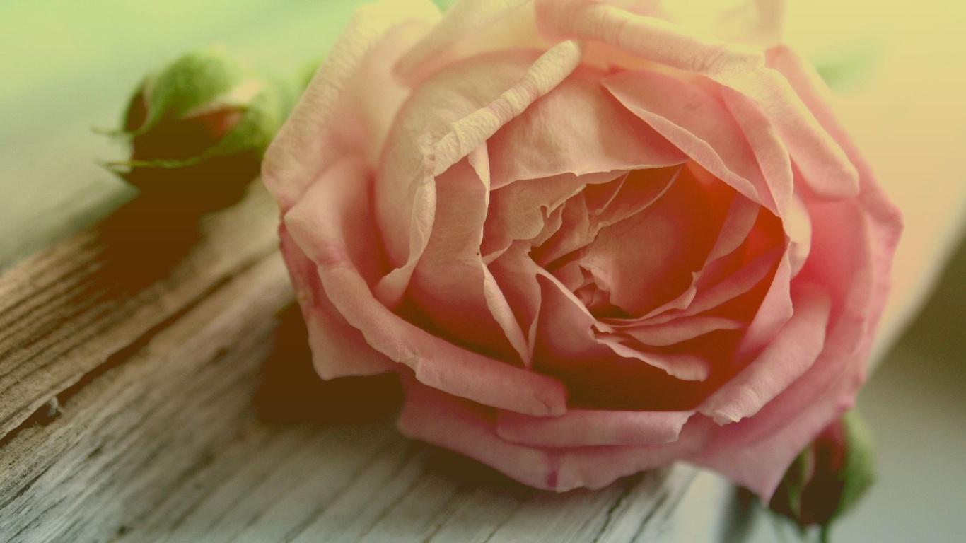 la rosa mas bella.... Nastol.com.ua-532