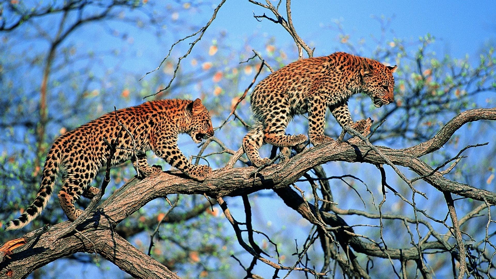 Papéis de parede da árvore, filhotes de leopardo rosnando, Animais